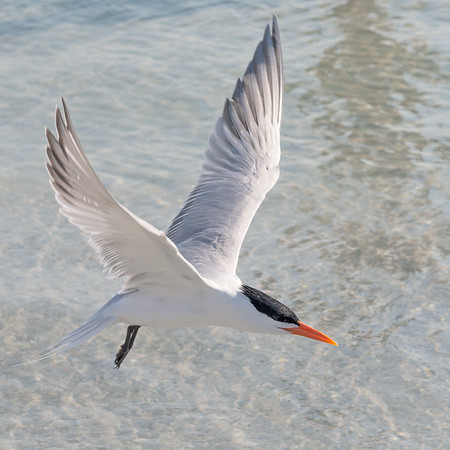 Skimmers and Terns
