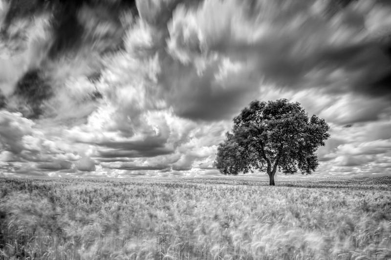 Holm oak on a mature wheat field on a windy day, Huevar del Aljarafe, Seville, Spain. Long exposure shot, B&W version.