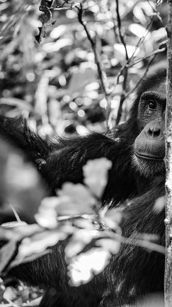 Uganda_T_Chimps-417.jpg