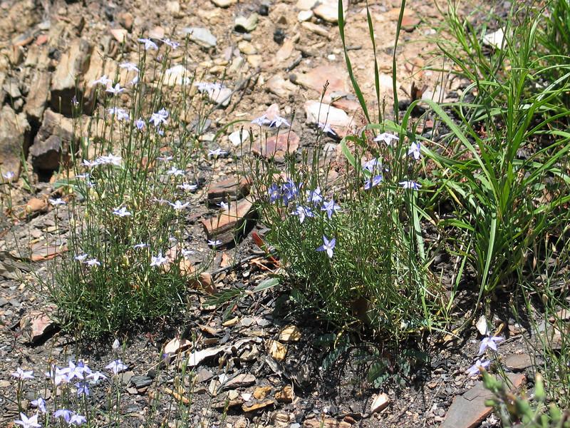 Wahlenbergia / Bluebells