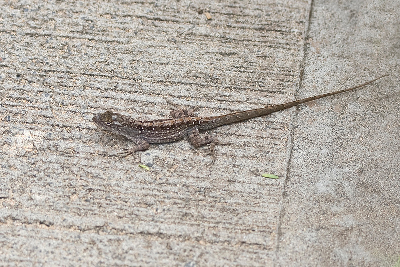 Anolis sagrei at Wailea Point (Maui, Hawaii) (photoID: 20090412_1840)Copyright © 2009 by Philip A. Thomas.  Contact imagesbypt@philipt.com for permission to use.