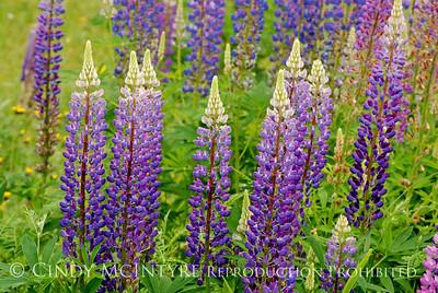 Wildflowers Maine