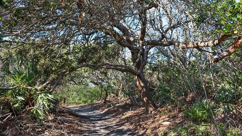 Trail tunneling under oak canopy
