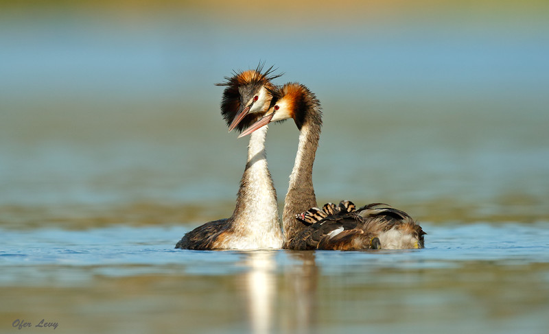 Great-crested Grebe 1.jpg