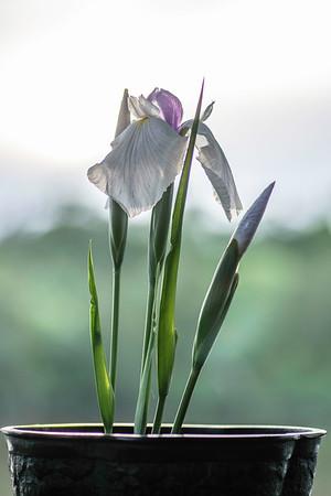 Art's Japanese Iris-2