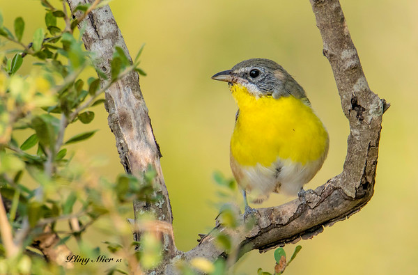 Yellow-bellied ChatDSC_7312.jpg