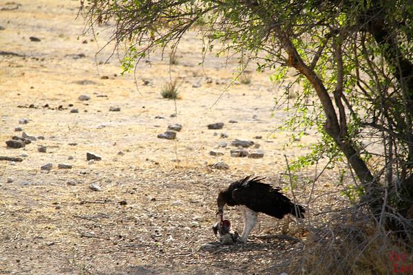 bird dinner in Etosha National Park, Namibia