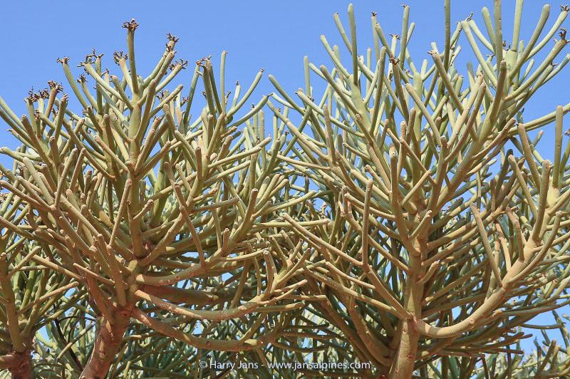 Euphorbia arbuscula
