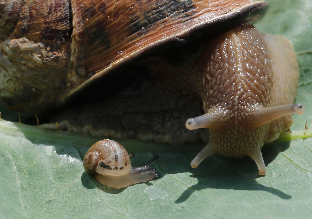 . A snail (Helix Aspersa) and a baby snail sit on a leave in a farm in Vienna June 12, 2013. Andreas Gugumuck owns Vienna\'s largest snail farm, exporting snails, snail-caviar and snail-liver all over the world. The gourmet snails are processed using old traditional cooking techniques and some are sold locally to Austrian gourmet restaurants. Picture taken June 12, 2013.   REUTERS/Leonhard Foeger