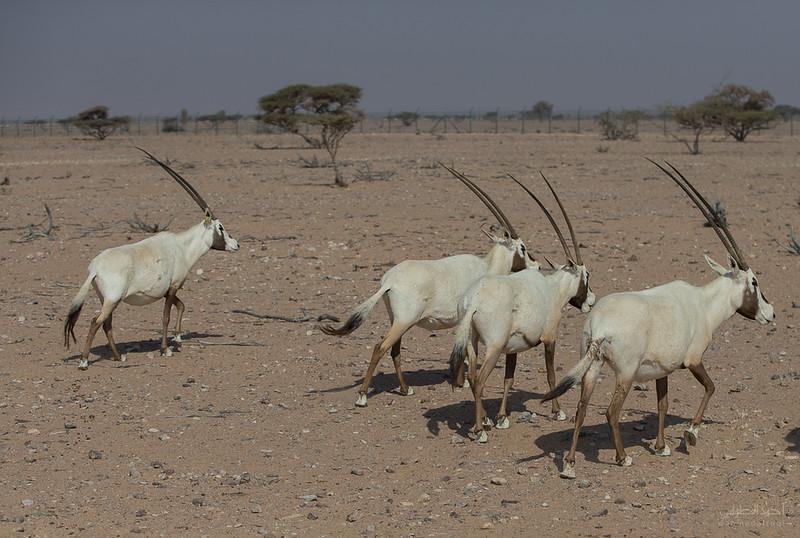 Arabian Oryx (45).jpg