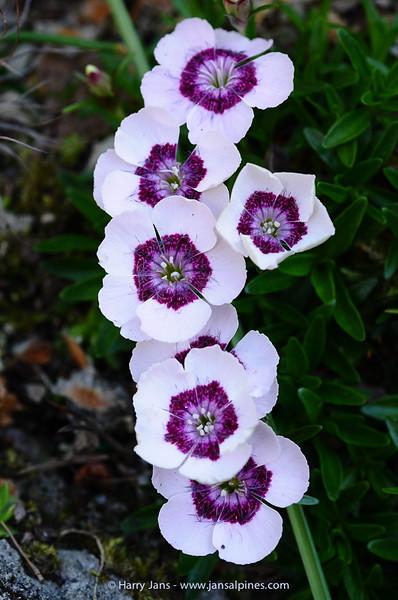 Dianthus alpinus (form)