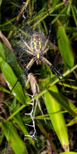 Writer Spider Argiope aurantia SC0766.jpg