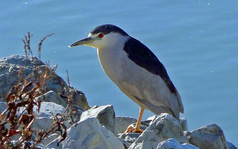 Black Crowned Night Heron- Las Gallinas