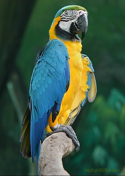 blue &yellow macaw.jpg