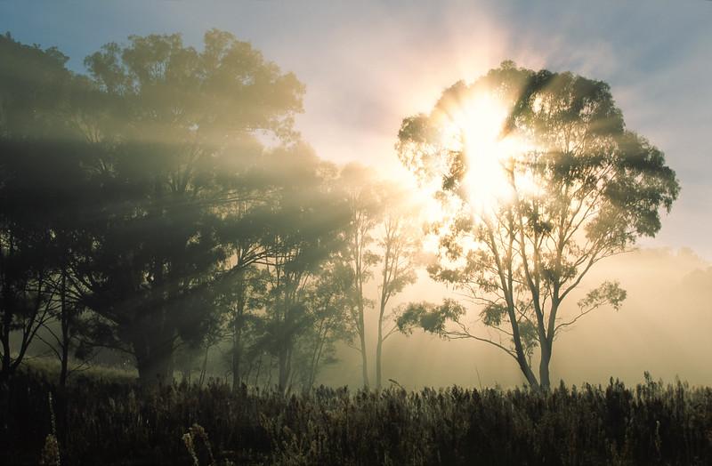 Eucalyptus trees at sunrise, Warrambungle National Park.