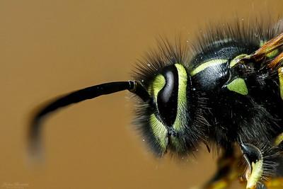 Bees, Wasps & Flies / Bin, getingar & flugor