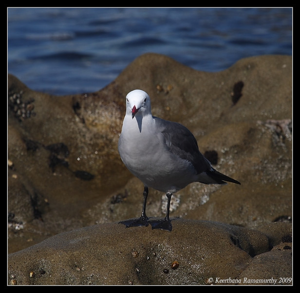 Heermann's Gull, La Jolla Cove, San Diego County, California, February 2009