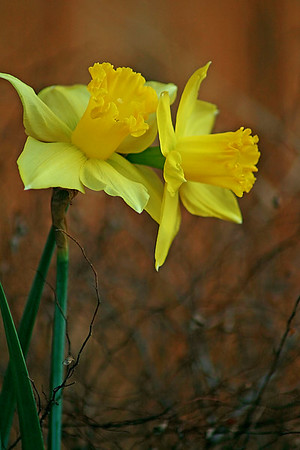 A touch of spring - Daffodils