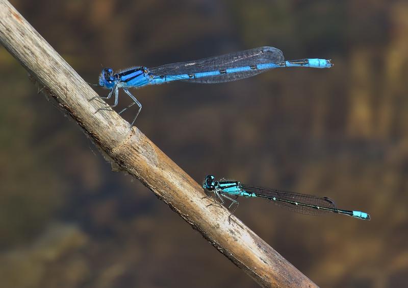 Male (below) with Familiar Bluet, Summit Bridge Ponds
