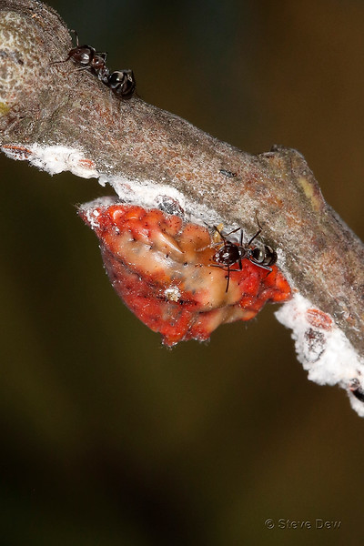 Aphids, Scale Insects & Mealybugs