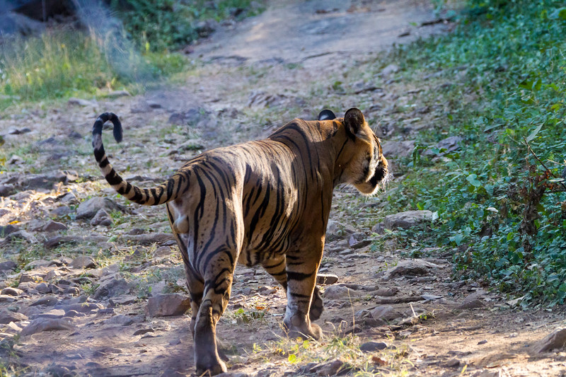 A male bengal tiger in Ranthambore National Park walks away down a dirt path.