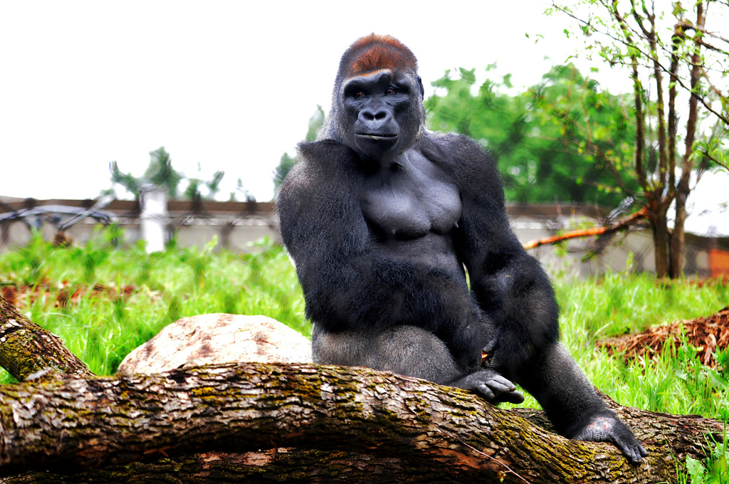 . A gorilla watches humans from its new habitat at Gorilla Forest. (Pioneer Press: Jean Pieri)