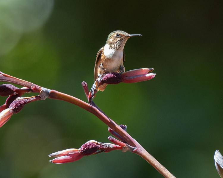 Scintilant Hummingbird (female)