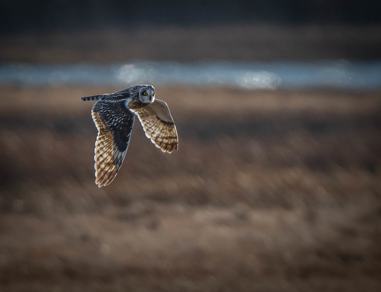 Short-eared Owl flying river wings