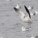 Black-tailed Gull and Ring-billed Gulls