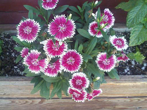 . SWEET WILLIAM: A fragrant, clover-scented plant, Sweet William is related to garden carnations. (SVCN Archives)