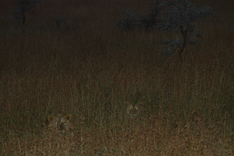 Lions in the Grass.JPG