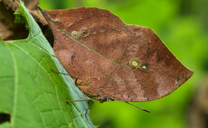 Blue-oak-leaf-butterfly.jpg