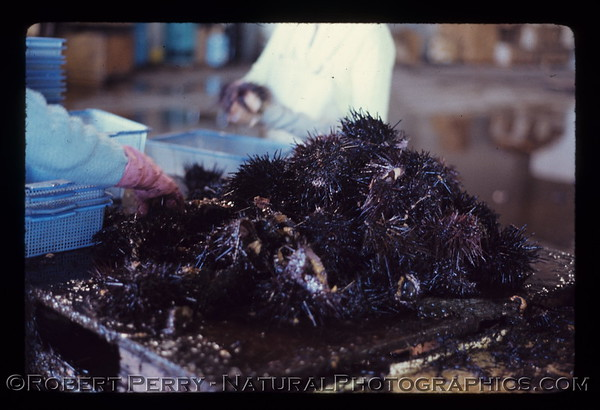 Commercial Sea Urchin Processing