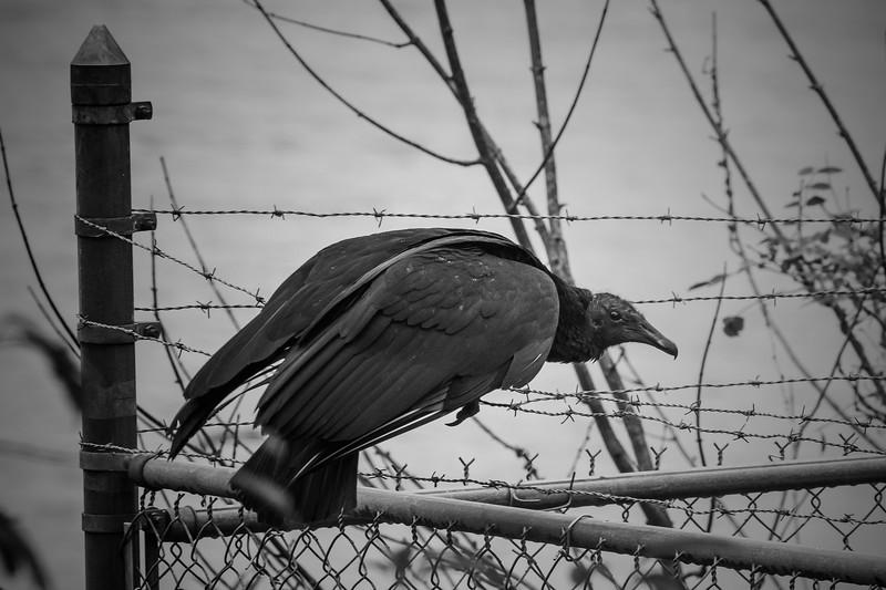 9.9.18 - Blackburn Creek Fish Nursery: Black Vulture