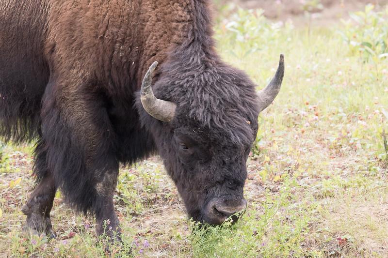 Wood Bison Yukon-4.jpg