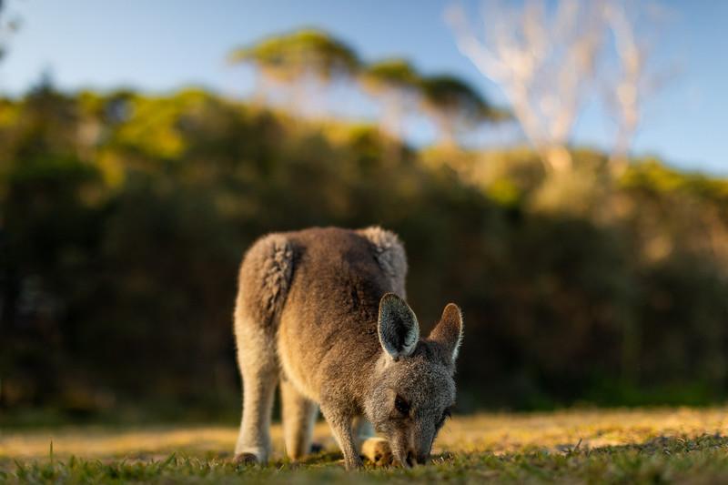 2G2A3631-Edit- Callum Snape - Kangaroo.jpg