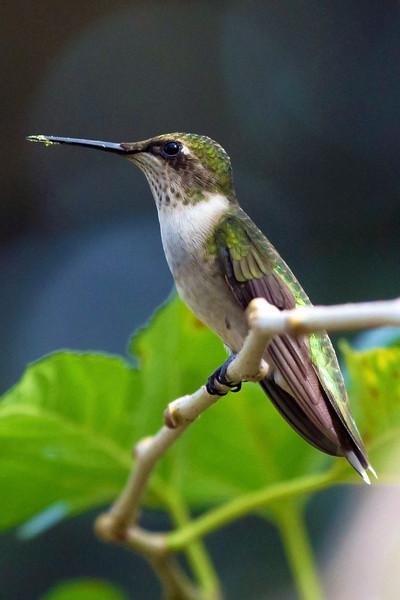 hummingbirdperfectpose.jpg