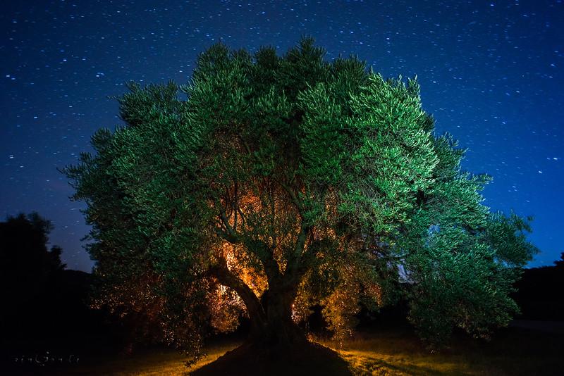 Alma dorada del olivo