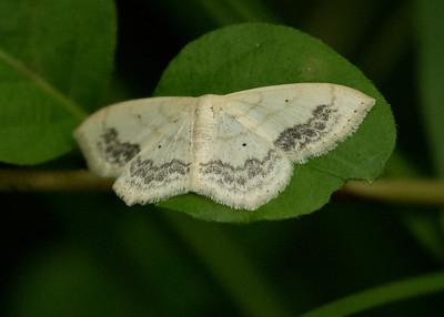 Lacy White Scopula