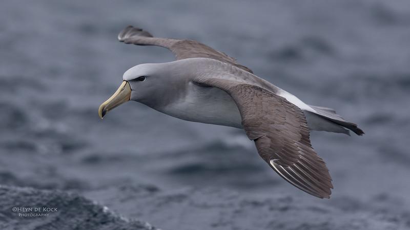 Salvin's Albatross, Eaglehawk Neck Pelagic, TAS, Sept 2016-4.jpg