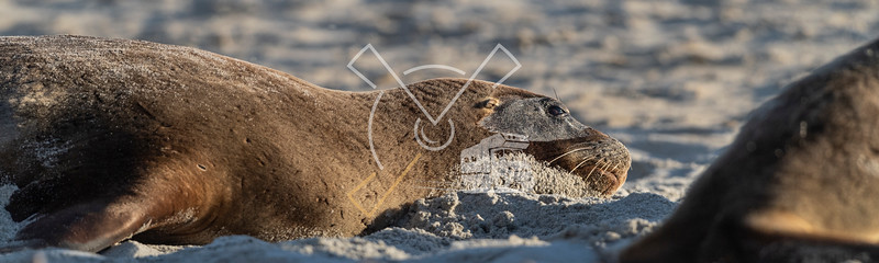 Detail of female adult New Zealand Sea Lion at the beach
