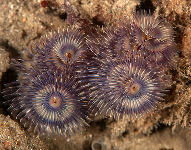 Segmented worms, Annelida, Eastern Pacific