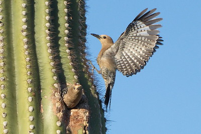 GILA WOODPECKERS - MALE AND FEMALE