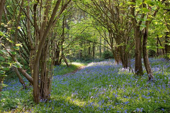 Woodland Bluebells II