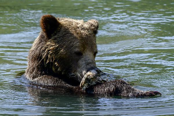 9-25-17 **Grizzly Bear - Swimming Hole - Salloompt Bridge
