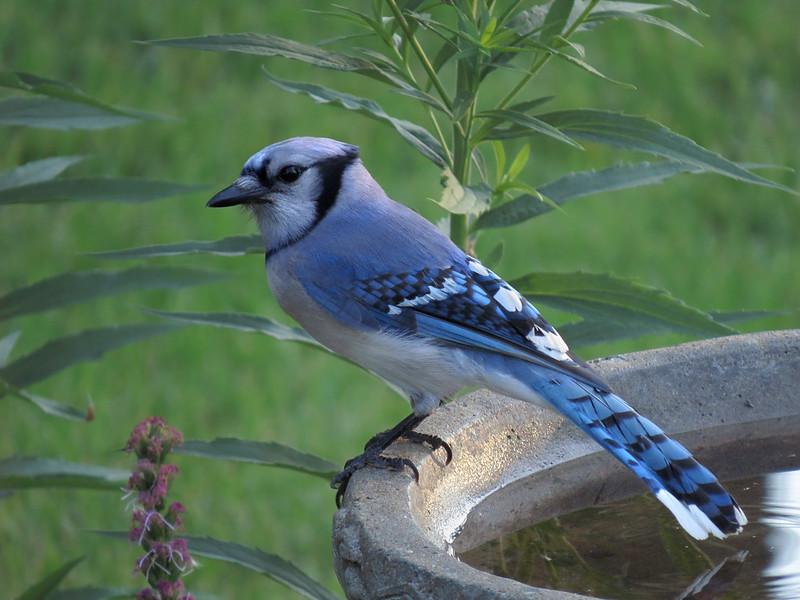 sx50_bluejay_birdbath_400.jpg