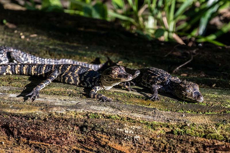 Pair of Baby Crocodiles