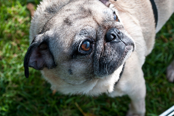 Pug Rescue Event