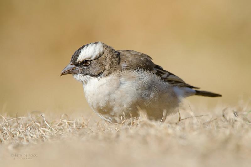 White-browed Sparrow-Weaver, Hobhouse, RSA, Jul 2011.jpg