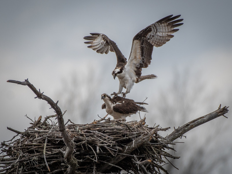 Osprey male landing on female